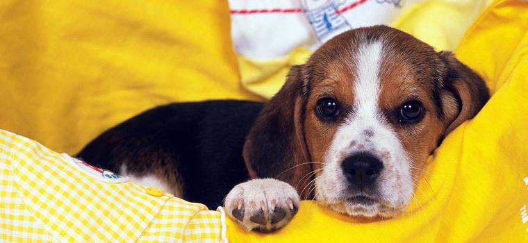 Как защитить ламинат от двух гиперактивных собак